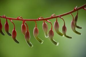 Sukkulent-blomster